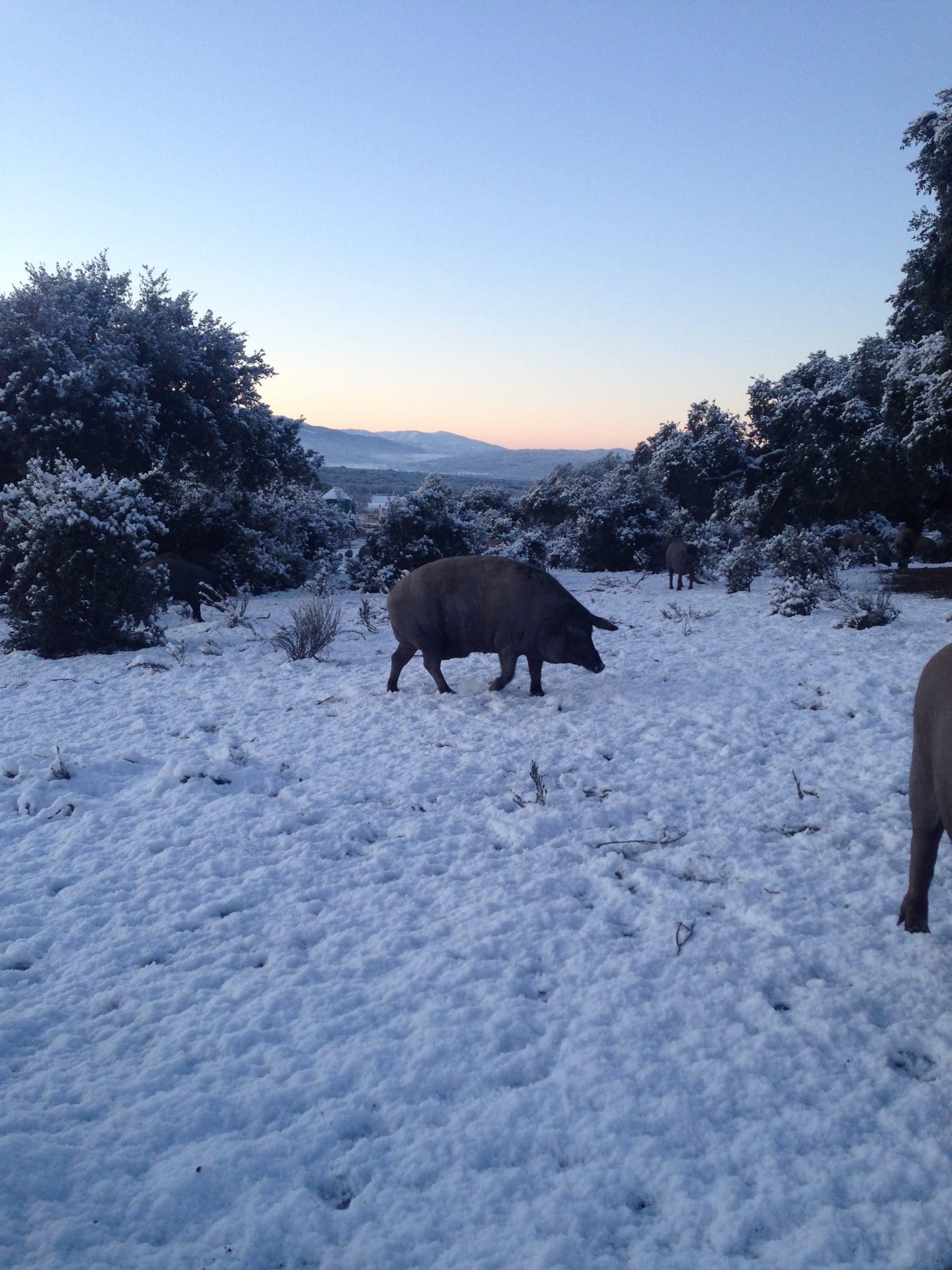 Cerdos en la finca Parada Vieja con nieve